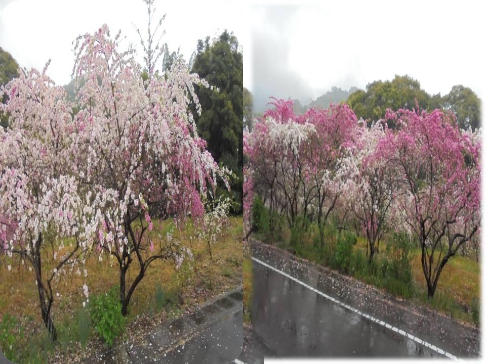 しだれ桜 八重桜  花桃